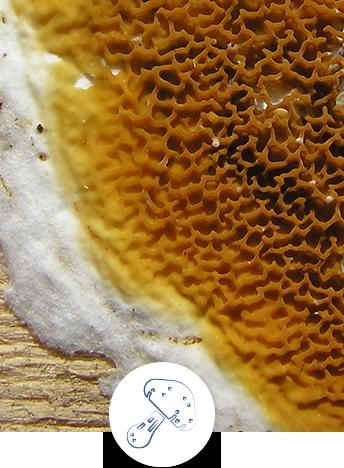 Repérer la présence de mérule (zones à risque, bâtiment ancien ou humide…)