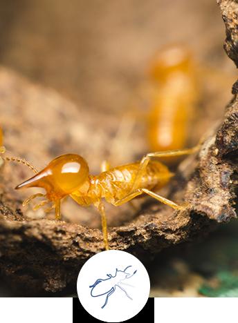 Le diagnostic termites dans les copropriétés