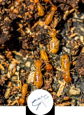 Diagnostic termites : présence de termites et risque de vice caché